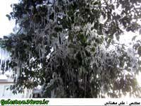 درخت قندیل-علی آباد کتول-گلستان